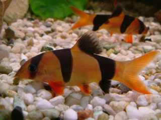 Tropical fish manufacturers suppliers tropical fish for Freshwater clown fish