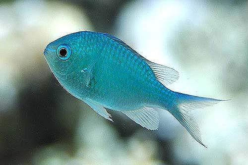 Sri lanka marine fish catalog aquamarine international for Scientific name of fish