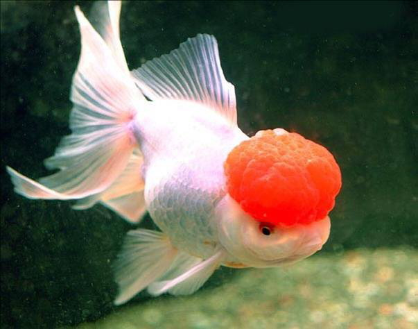 Fish manufacturers suppliers fish catalog for Japanese ornamental fish