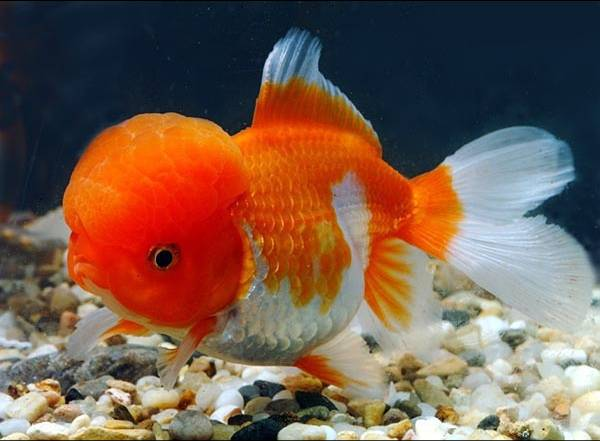 Goldfish manufacturers suppliers goldfish catalog for Japanese ornamental fish