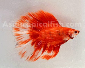 Betta Fish Grade A++ Nice color and quality