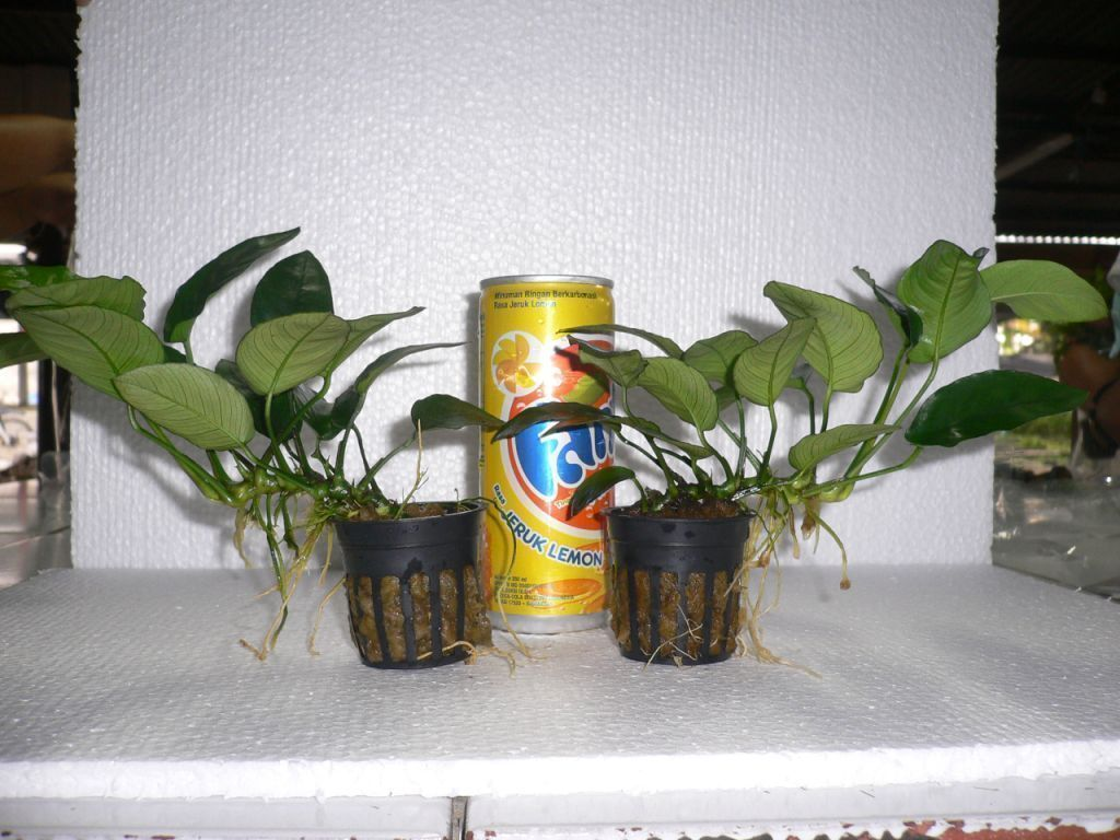 Anubias Nana potted plants