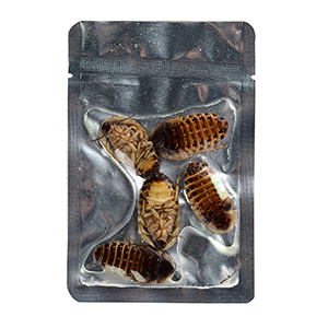 eco fresh dubia roach for reptile and arowana