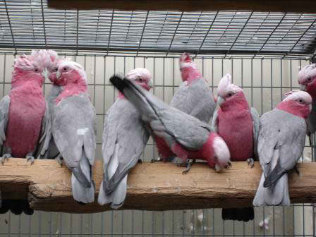 AFRICA GREY BABIES PARROTS AND FRESH CANDLE TESTED FERTILE PARROT EGGS FOR SALE