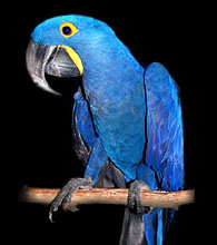 Available Hyacinth Macaw babies