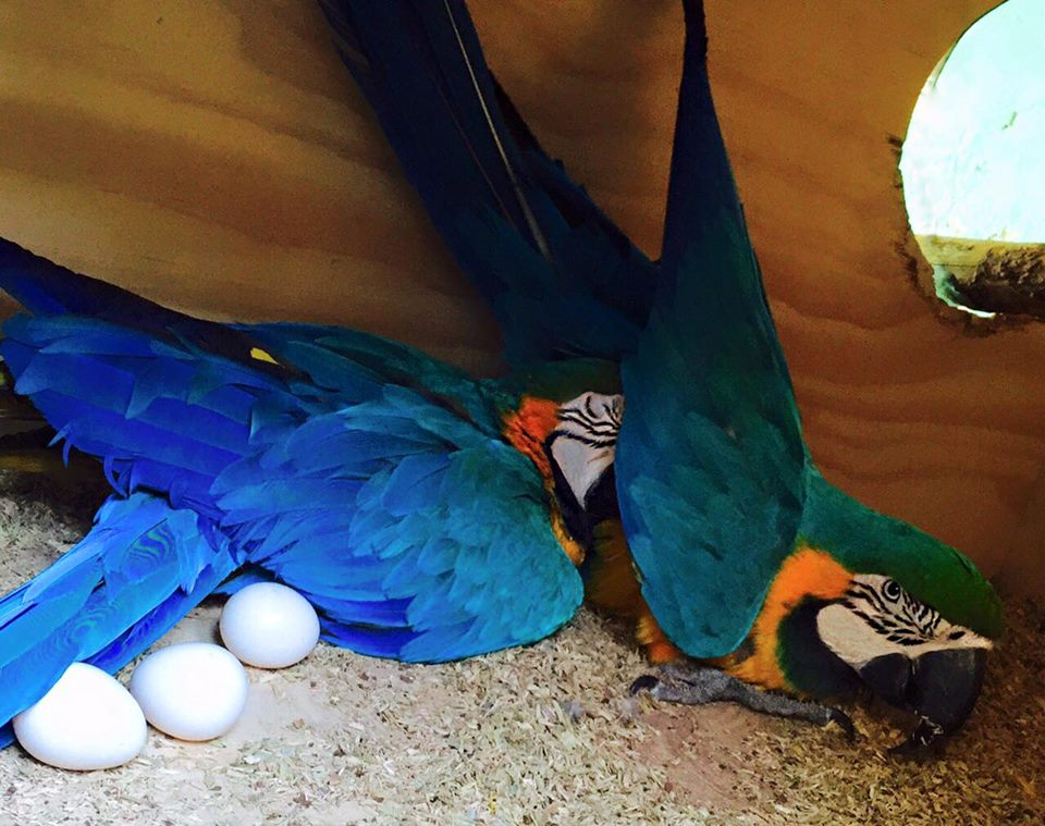Fertile Parrots Eggs For Sale