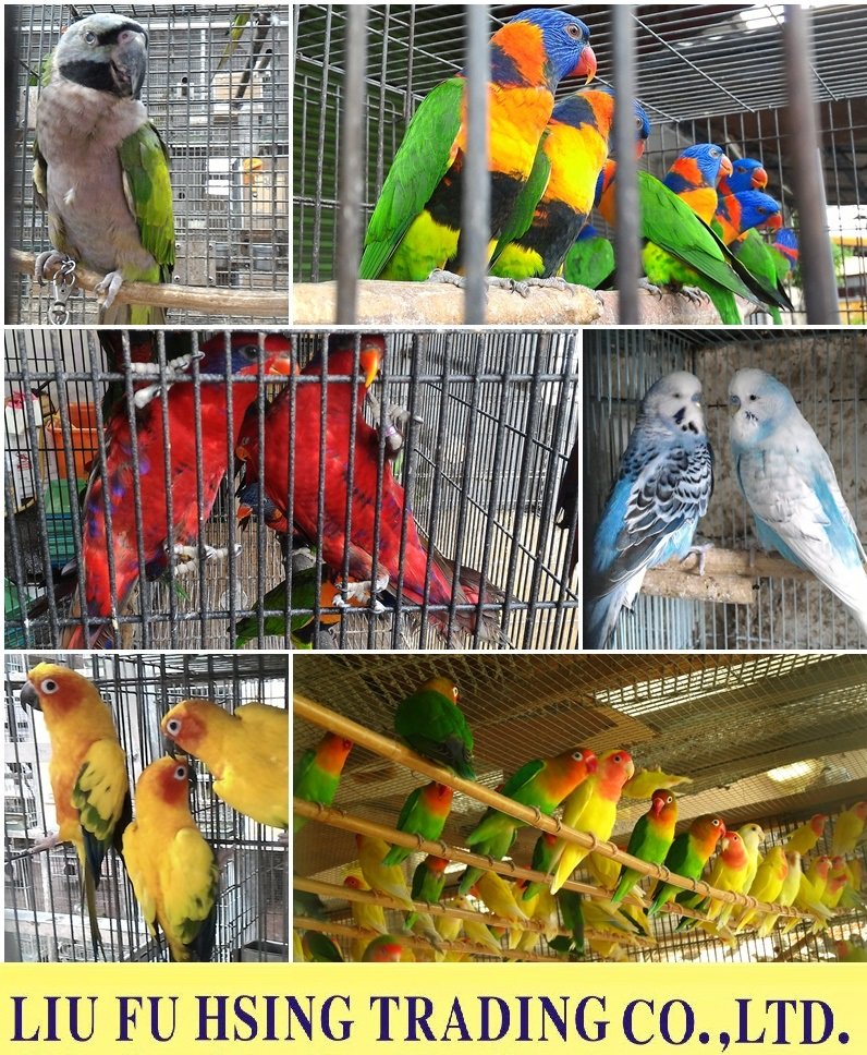 Live Avian Animals- Parrots/Budgerigars/Lovebirds/Cockatiel/All kinds birds