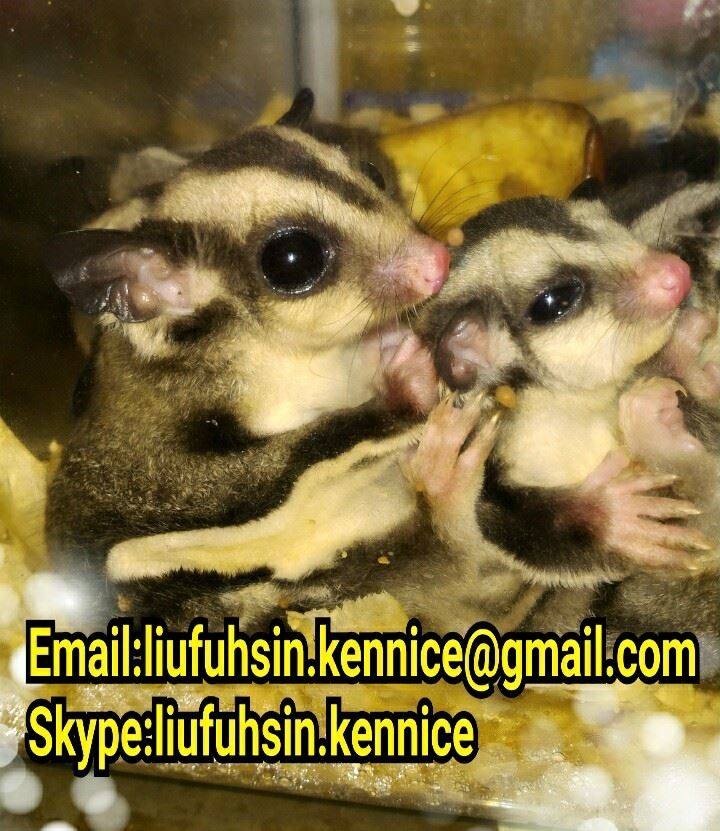 Sugar gliders and small exotic animals for export