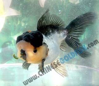 oranda goldfish cloudy eye